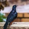 Red-winged Starling (M) (Rooivlerkspreeu)