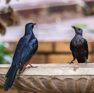 Red-winged Starling (M,F) (Rooivlerkspreeu)