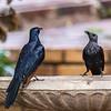 Red-winged Starling (M,F) (Rooivlerkspreeu)