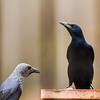 Red-winged Starling (M, F) (Rooivlerkspreeu)