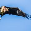 Marabou Stork (Maraboe)
