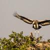 Saddle-billed Stork (Imm) (Saalbekooievaar)
