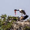 Saddle-billed Stork (Ad M, Imm) (Saalbekooievaar)