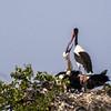 Saddle-billed Stork (Ad, Imm) (Saalbekooievaar)
