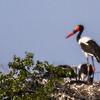 Saddle-billed Stork (Ad F, Imm) (Saalbekooievaar)