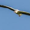 White Stork (Witooievaar)
