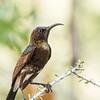 Dusky Sunbird (M) (Namakwasuikerbekkie)