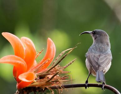 Grey Sunbird