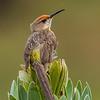Gurney's Sugarbird (Rooiborssuikervoël)