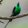 Malachite Sunbird (M) Jangroentjie)