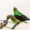 Marico Sunbird (M, F) (Maricosuikerbekkie)