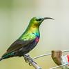 Marico Sunbird (M) (Marico Suikerbekkie)