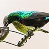 Marico Sunbird (Maricosuikerbekkie)