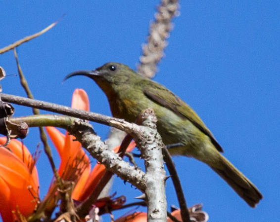 Olive Sunbird (F) (Olyfsuikerbekkie)