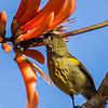 Olive Sunbird (M) (Olyfsuikerbekkie)