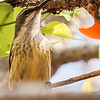 Purple-banded Sunbird (F) (Purperbandsuikerbekkie)