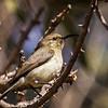 White-breasted Sunbird (F) (Witpenssuikerbekkie)