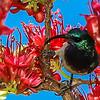 White-breasted Sunbird (M) (Witpenssuikerbekkie)