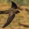 Brown-throated Martin (Afrikaanse oewerswael)