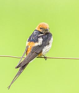 Greater Striped Swallow (Grootstreepswael)