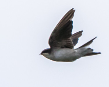 Grey-rumped Swallow