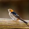 Lesser Striped Swallow (Kleinstreepswael)