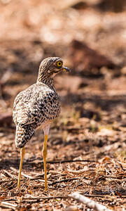 Spotted Thick-knee (Gewone dikkop)