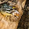 Yellow-fronted Tinkerbird (Geelblestinker)