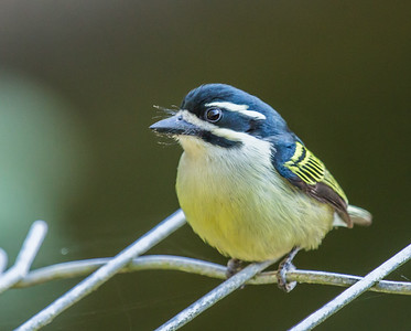 Yellow-rumped Tinkerbird (Swartblestinker)