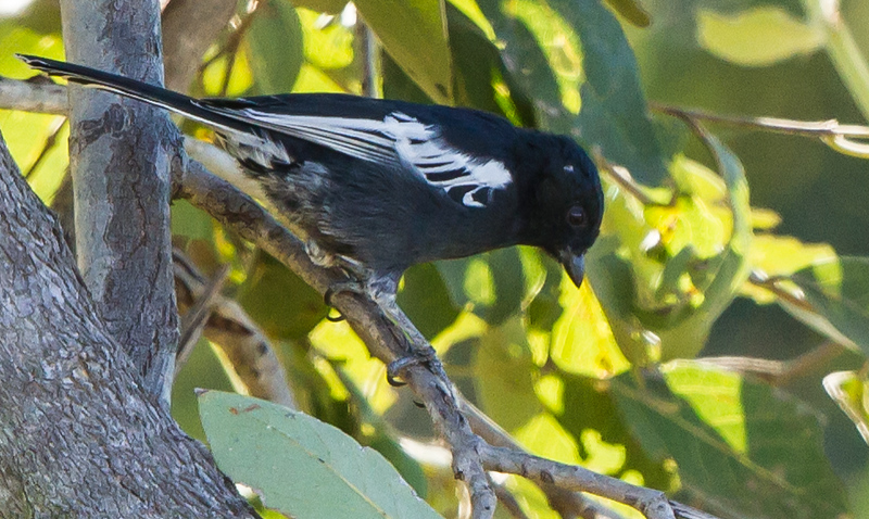 Southern Black Tit (Gewone swartmees)