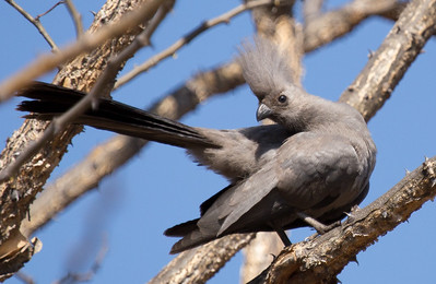 Grey Go-away-bird (Kwêvoël)