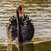 Black Swan (Swart Swaan)