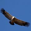 Cape Vulture (Kransaasvoël)