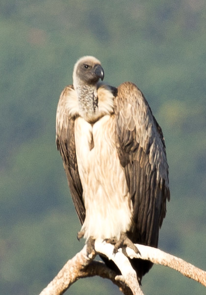 White-backed Vulture (Witrugaasvoël)