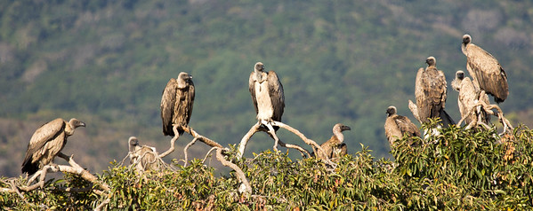 White-backed Vulture (Witrugaasvoël)