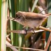 Lesser Swamp Warbler (Kaapse Rietsanger)