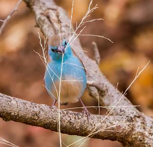 Blue Waxbill (Blousysie)