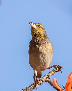 Red-headed Weaver (Nbr) (Rooikopwewer)