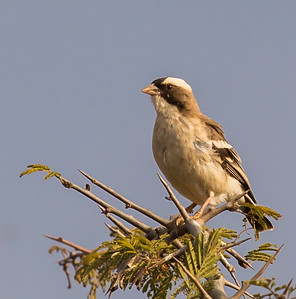 White-browed Sparrow-Weaver (Koringvoël)