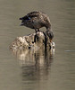 Birding in South Glenmore, new Sigma lens