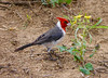 Red Crested Cardinal, Kealia Coastal Boardwalk