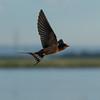 Barn Swallow, Frank Lake June 2015