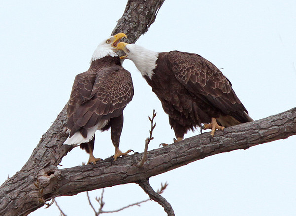 Eagles, Feb, 09.<br /> <br /> © Martin Radigan. All images copyright protected.
