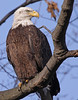 Bald Eagle, Potomac River. Feb, 09.<br /> <br /> © Martin Radigan. All images copyright protected.