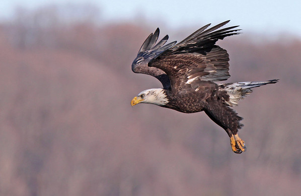 Bald Eagle, Potomac River. Dec, 08.<br /> <br /> © Martin Radigan. All images copyright protected.