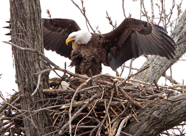 """Bald Eagles copulating. The female can be seen low in the nest, underneath the male. Alt caption: """"who's your eagle daddy..."""" March, 09.<br /> <br /> © Martin Radigan. All images copyright protected."""