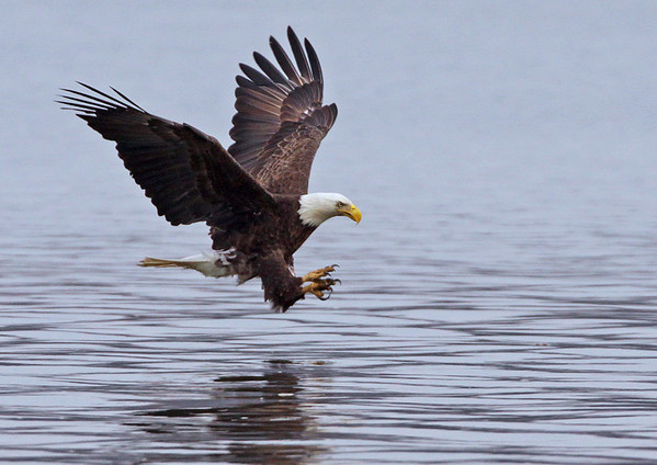 Bald Eagle about to ruin a fishes day. Potomac River, VA. Feb-09.<br /> <br /> © Martin Radigan. All images copyright protected.