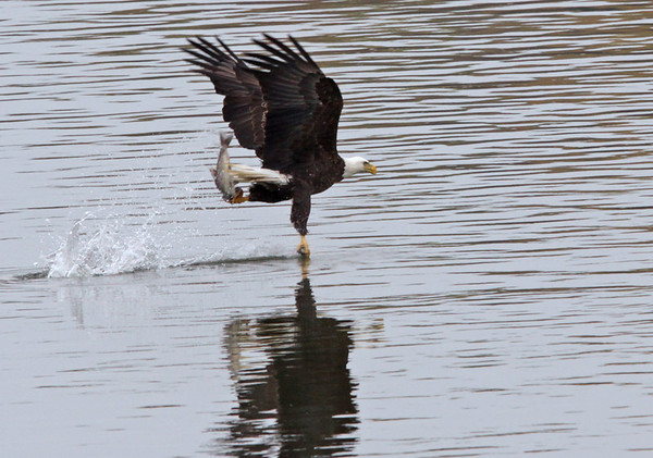 Bald Eagle, Susquehanna River. The one hand grab...Nov, 08.<br /> <br /> © Martin Radigan. All images copyright protected.