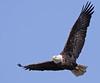 Bald Eagle, Potomac River. Feb, 09.<br /> <br /> © Martin Radigan. All images copyright protected.