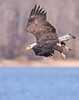 Eagle descending on a fish. Potomac River, Dec 08.<br /> <br /> © Martin Radigan. All images copyright protected.